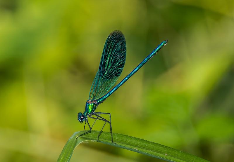 Libellula blu smeraldo di ph_LuigiBloise ©