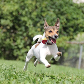 by Art Tilts - Animals - Dogs Running ( running, perky, small dog, white, playing, brown )