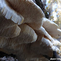 Toothed Crust Fungus