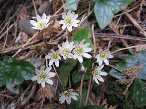 Photo: ミスミソウ(キンポウゲ科) 2/12 吉祥山にて。 大きく三裂した葉の形から三角草(みすみそう)という和名があります。残雪を割って他の花にさきがけて咲くので雪割草とも呼ばれています。