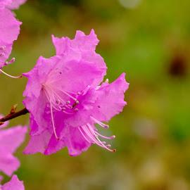 Flower by Catherine Guerenne - Flowers Tree Blossoms ( fleur rose, parc de la tête d'or, jardin botanique de lyon, tree flower, lyon botanical garden )