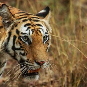 Up Close by Saumitra Shukla - Animals Lions, Tigers & Big Cats ( amazing, wild, tiger, royal, beautiful, wildlife, travel, yellow, stripes, close up, black, eyes )