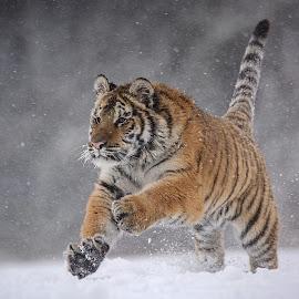 Run and hunting by Jiri Cetkovsky - Animals Lions, Tigers & Big Cats ( winter, tiger, snow, ussurian, hunting )