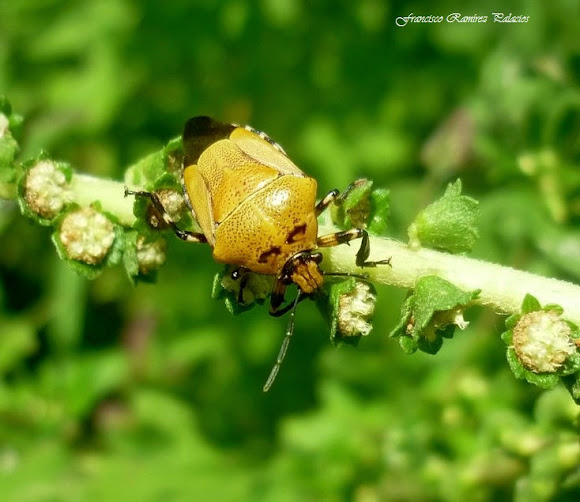 Orange Stinkbug with two Black Spots | Project Noah