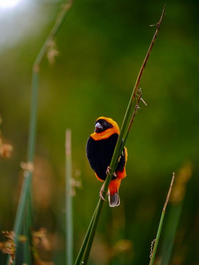 Orange Bishop by Johannes Dayrit - Animals Birds