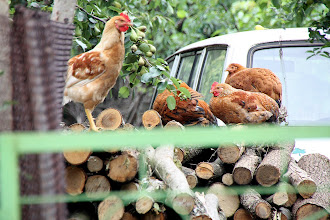 Photo: Day 88 - Chickens in a Driveway in Grivitsa
