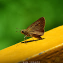 Swift Skipper