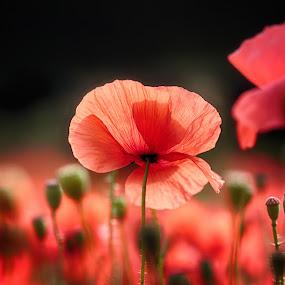 Wild Red Poppies by Ceri Jones - Flowers Flowers in the Wild ( red, delicate, beautiful, flowers, flora, season, poppies, wild, summer )