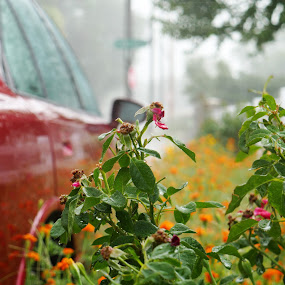 Rainy weather by Seth Parkinson - Flowers Flower Gardens ( rose gold green rain wet )