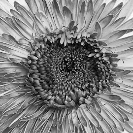 Gerbera Vortex by Dee Haun - Black & White Flowers & Plants ( close up, vortex, 180526t2582rc2e5bw, ipone, gerbera, black and white, flower )