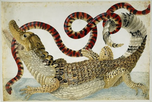 maria sybilla merian, cayman with false coral snake - british museum