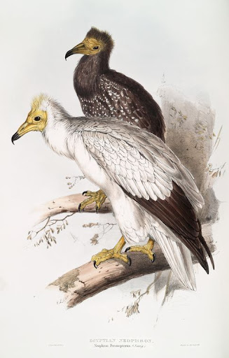 edward lear, egyptian vulture
