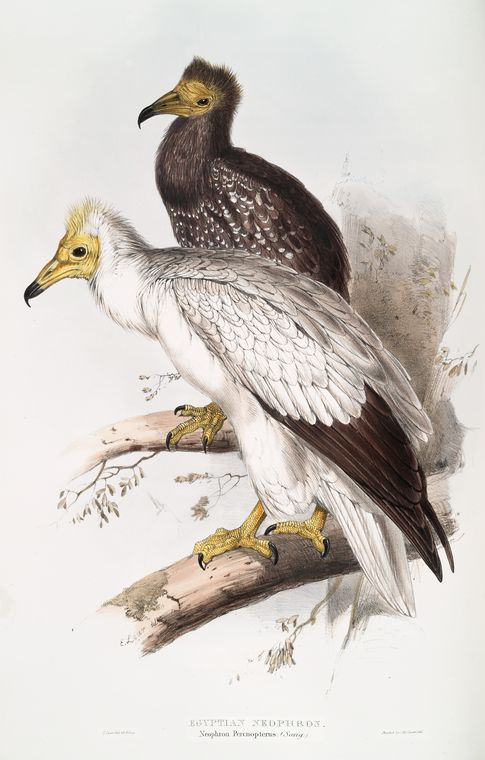 edward lear, egyptian vulture (aasgier)