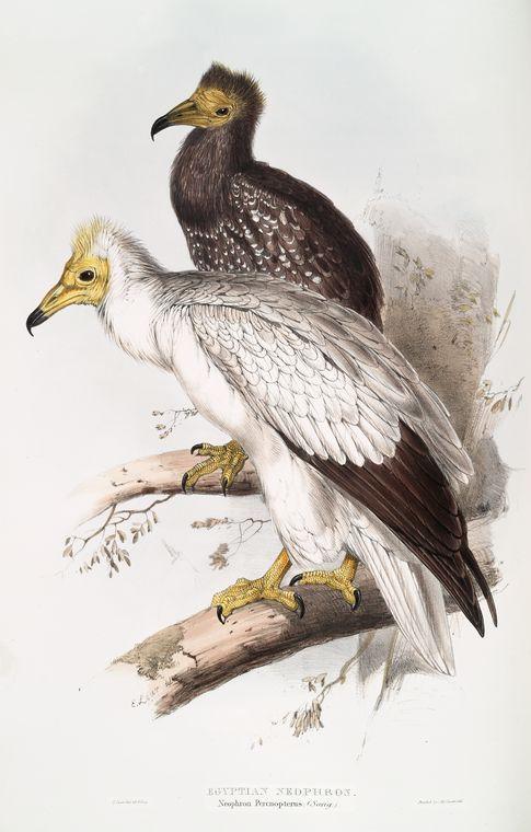 edward lear, egyptian vulture (aasgier)