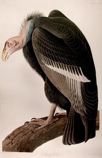 john james audubon, california vulture