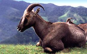 2 lying goats, nilgiri thar