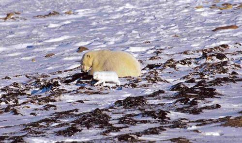 poolvos en ijsbeer