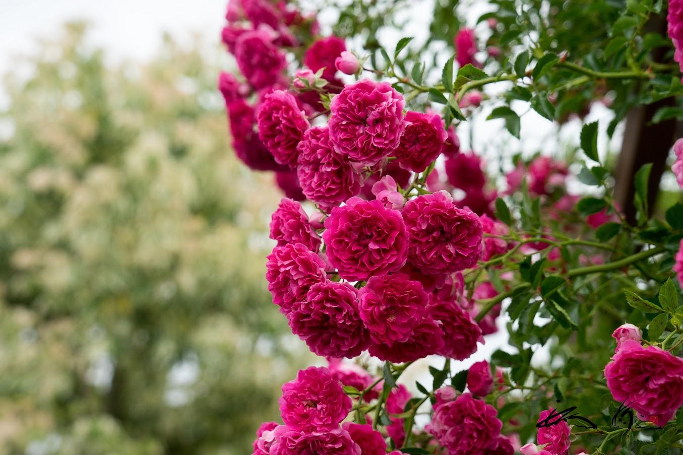 優麗な薔薇の花たち♡
