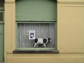 Photo: ook de koeien vinden een vitrine bijverdienste, nu wachten waar die stier blijft