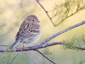 Photo: Field Sparrow