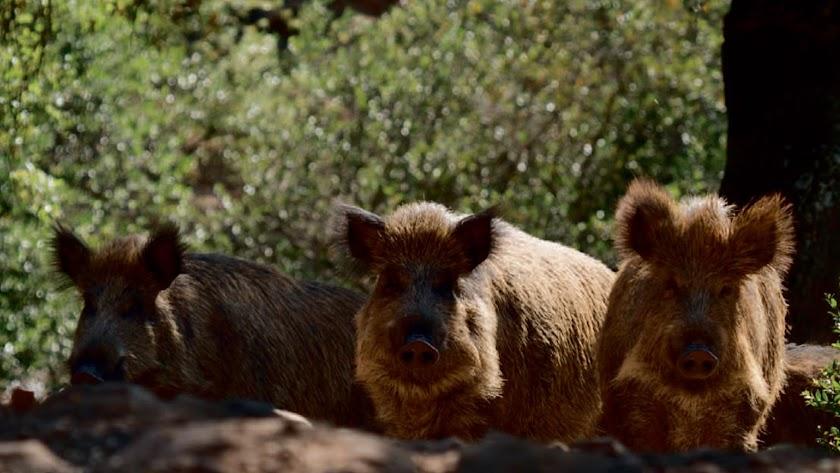 El jabalí  es el animal más común en los montes de Almería y para el que más batidas se solicitan.