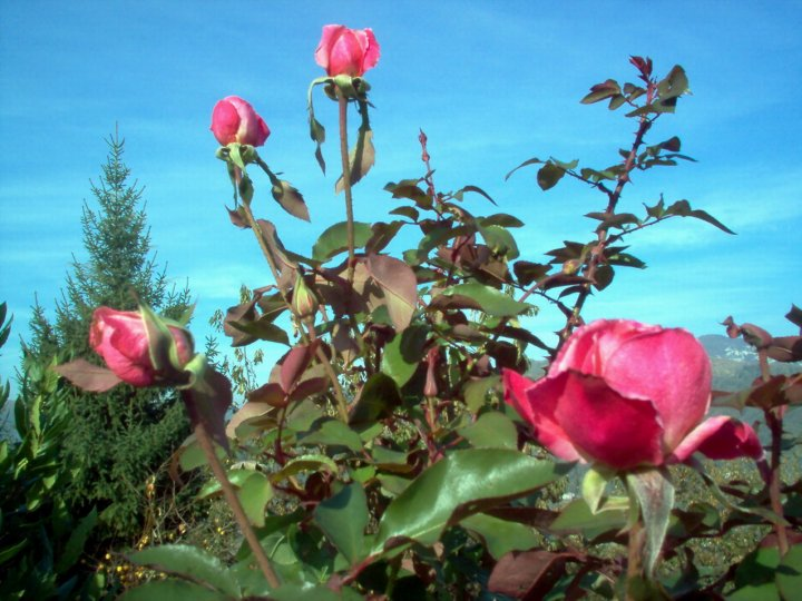 rose... rosa. di lkv71