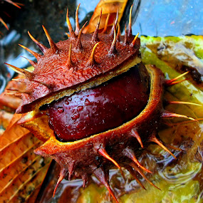 Chesnuts ( CASTANEA fruit) by Daliana Pacuraru - Nature Up Close Gardens & Produce ( castanea, fruit, daliana pacuraru, chesnuts, pwcvegetablegarden-dq,  )