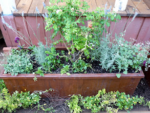 Photo: Planter box with edible flowers for infusions and garnishes--scented geranium, lavender, rugosa rose (rose hip liqueur)! and below, some golden oregano