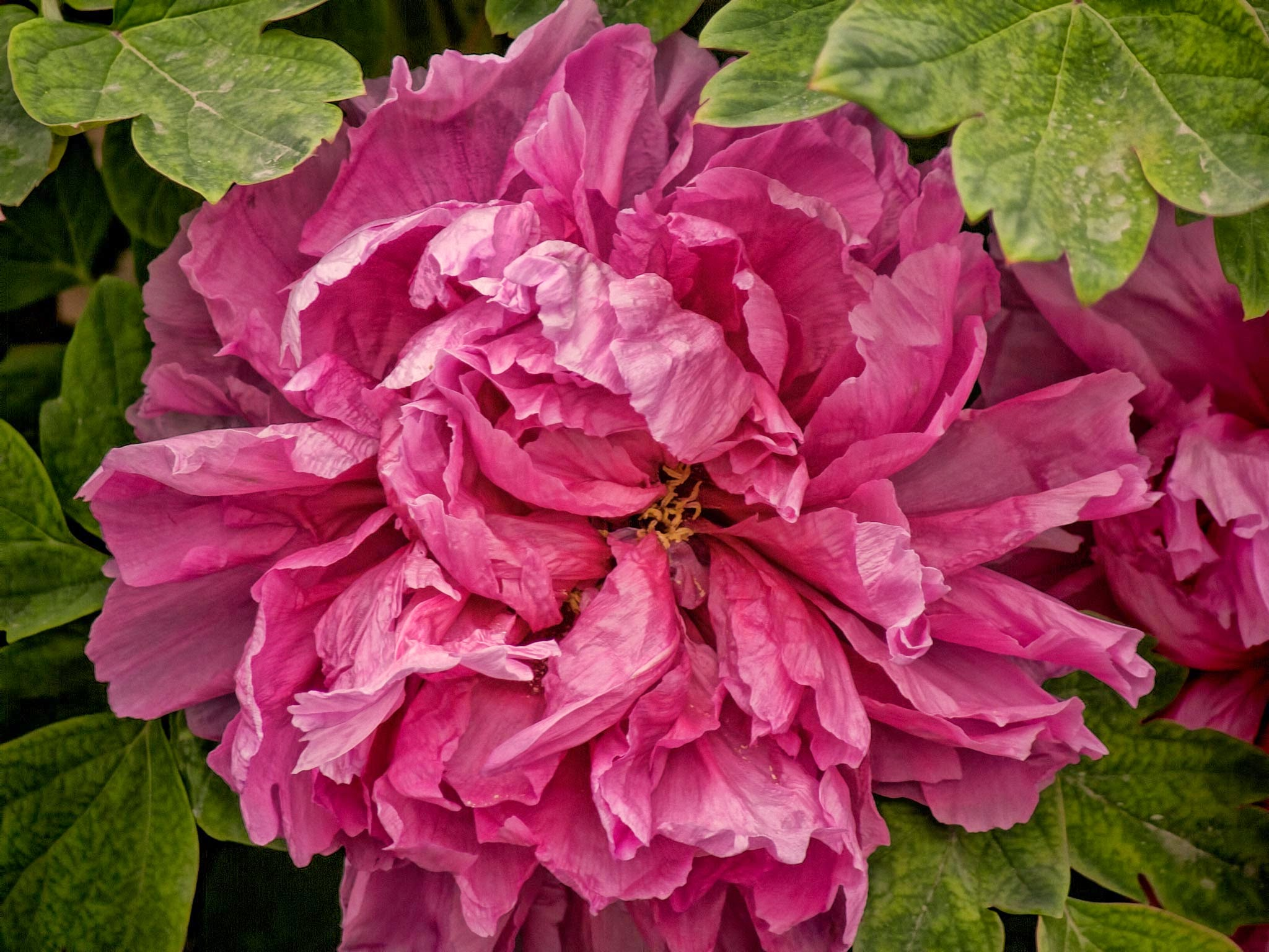Photo: Peony The unofficial national flower of China.  Continuing my #China  catalogue diving. I don't think this photo has ever been posted anywhere, so I thought I'd give it a run through the processing wringer and see what came out. Used to achieve this result were #TopazDenoise3 , #TopazDetail5   and #TopazAdjust5 .  Peonies are grown in different ways from small shrubs to large tree-like plants. Blooms range from a couple of inches in diameter to six or eight inches, depending on how they are cultivated. This was probably in the four or five inch range.  The gardens surrounding the Giant Goose Pagoda in #Xian , China would be a peony lover's delight. They seemed to be everywhere, and April is apparently a great month to catch peonies in bloom.  #GiantGoosePagoda   #Peony