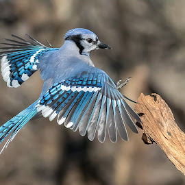 Blue Jay 0162 by Carl Albro - Animals Birds ( bird in flight, blue jay, wings, bird, flying )