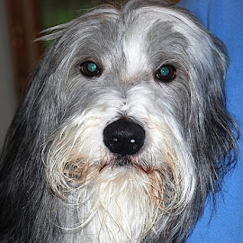 bearded collie by Harold Stoler - Animals - Dogs Portraits ( bearded collie, collie, animal, portrait, dog )