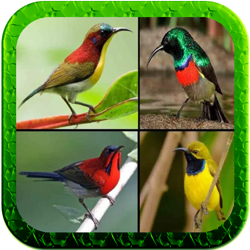 Kicau Kolibri Lengkap