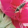 Assassin Bug / Percevejo-Assassino