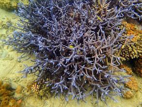 Photo: Acropora sp. (Purple Staghorn Coral) Chindonan Island, Palawan, Philippines.