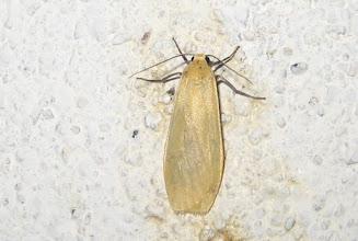 Photo: Eilema sororcula     Lepidoptera > Erebidae