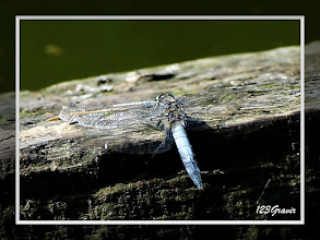 Photo: Libellule fauve (Libellula fulva)