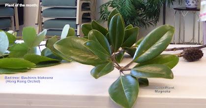 Photo: Good Plant: Magnolia