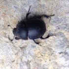Dung Beetle / Lajniak hladký