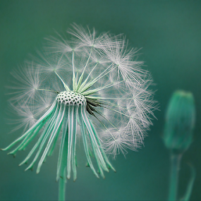 Night Wishes by Darlene Lankford Honeycutt - Nature Up Close Other plants ( plant, seed head, seed pod, nature, dl honeycutt )