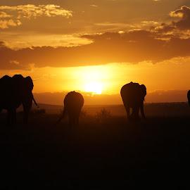 Masaai morning by Sarah Aldridge - Uncategorized All Uncategorized ( africa, sunrise, nature, elephants, animals, wildlife, kenya, morning )
