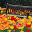 Awkward by Barbara Langfeld - Flowers Flower Gardens ( bench, colors, parks, park bench, gardens, flower gardens, tulips, flowers, spring,  )