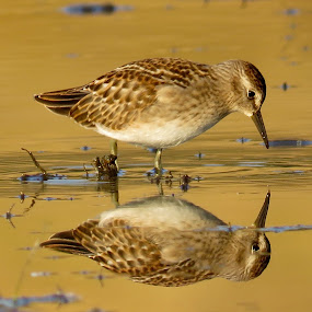 Least Sandpiper  by Nick Swan - Animals Birds ( shoebird, peep, reflection, nature, least sandpiper )