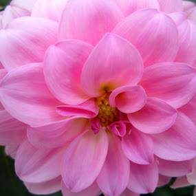 Pink Dahlia by Viive Selg - Flowers Flower Gardens (  )