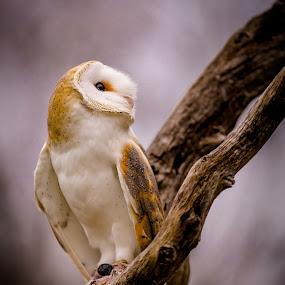 Barn Owl by Chris Martin - Animals Birds ( bird, birds of prey, animals, barn owl, owl, wildlife, birds, owls,  )