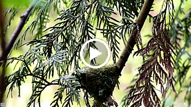 Video: A female Rufous Hummingbird coming back to her nest.