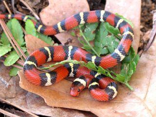 Image result for scarlet kingsnake