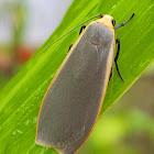 Yellow-Underwing Lichen Moth Female