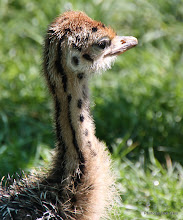 Photo: (Year 3) Day 23 - Baby Ostrich #9