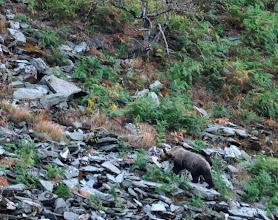 Photo: Primer oso que veía en libertad en mi vida. Una osa joven que se movía por un canchal asturiano.