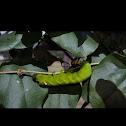 Vine Sphinx Moth Caterpillar